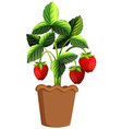 Strawberry plant in clay pot vector image vector image