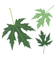 Green leaf Maple vector image
