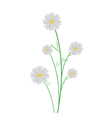 Cute White Cosmos Flowers on White Background vector image vector image