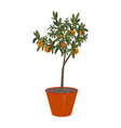 orange tree in pot isolated on a withe vector image vector image