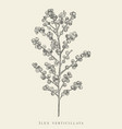 ilex vertical black and white vector image vector image
