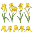 set color with yellow iris flower vector image vector image