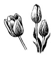 tulip and leaves hand drawn vector image
