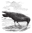 Common Raven engraving vector image vector image
