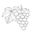 grapes outline hand drawn sketch vector image