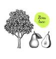 ink sketch pear vector image