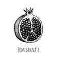 ink sketch pomegranate vector image vector image
