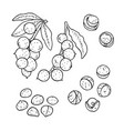 linear set of macadamia nuts line drawing vector image vector image