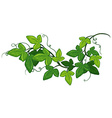 Ivy plant vector image vector image