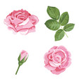 set collection of pink roses with leaves isolated vector image
