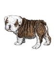 Bulldog 01 vector image vector image