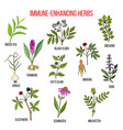 immune enhancing herbs vector image vector image