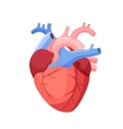 Anatomical Heart Isolated Muscular Organ in Human vector image