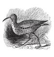 Eskimo Curlew vintage engraving vector image vector image