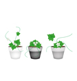 Three Ivy Gourd in Ceramic Flower Pots vector image vector image