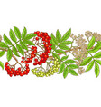 rowan branch pattern on white background vector image