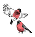 2 bullfinches isolated on white background vector image vector image