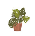 monstera potted palm tree domestic plant in vector image vector image