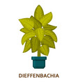 dieffenbachia decorative houseplant in pot vector image vector image