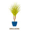 dracaena decorative houseplant in pot florist vector image vector image