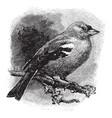 chaffinch vintage vector image vector image