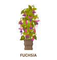 fuchsia decorative houseplant in pot florist vector image vector image