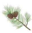 pinecone pine tree branch isolated floral vector image vector image