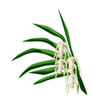 Screw Pine Flowers on A White Background vector image vector image