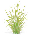 large tuft grass vector image