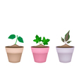Three Ornamental Trees in Ceramic Flower Pots vector image vector image