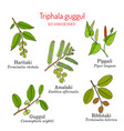 best ayurvedic herbal remedy formulation triphala vector image vector image