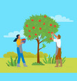 couple picking apples in garden man and woman vector image