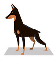 doberman in a classic position vector image vector image