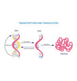 scientific model dna and rna transcription and vector image vector image