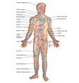 Veins in the Human Body vector image vector image