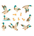 wild birds funny ducks flying and swimming in vector image