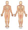 Skeleton Anterior Posterior Views vector image vector image