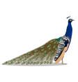 indian peafowl bird vector image vector image
