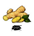 ginger root hand drawn roo vector image vector image