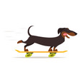 dachshund dog riding skateboard vector image vector image