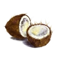 drawing coconut vector image