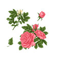 set pink roses bouquets flowers and buds vector image