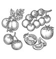 set tomato sketches on branch or stem vector image vector image