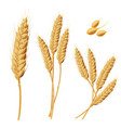 wheat sprouts grains wheat vector image vector image