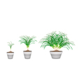 Lemon Grass Plants in Ceramic Flower Pots vector image