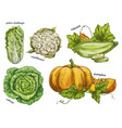 sketch of napa cabbage squash and cauliflower vector image vector image