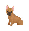 adorable french bulldog sitting isolated on white vector image