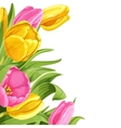 Background of pink and yellow tulips on white vector image vector image