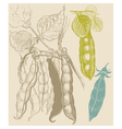 Peas vegetable vintage drawing vector image vector image