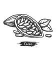 cacao fetus or sketch cocoa pod sketching vector image vector image